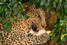 Portrait Of An African Leopard...