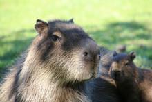 A Capybara In The Esteros De Ibera, Argentina