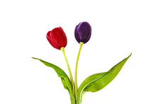 Red And Violet Tulip Isolated On White Background