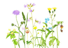 Wild Plants And Flowers, Drawi...