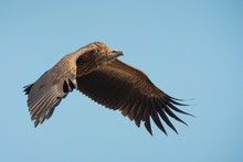 Himalayan Griffon Vulture Flying On Blue Sky