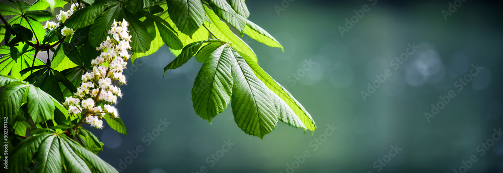 Fototapeta Blossoming chestnut tree in spring detail. Beautiful green twig or leaves and flowers with blur bokeh background wide banner or panorama.