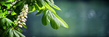 Blossoming Chestnut Tree In Spring Detail. Beautiful Green Twig Or Leaves And Flowers With Blur Bokeh Background Wide Banner Or Panorama.