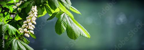 Kwitnąca kasztanowiec w szczegółach wiosny. Piękna zielona gałązka, liście i kwiaty z plamy bokeh tła szerokim sztandarem lub panoramą.
