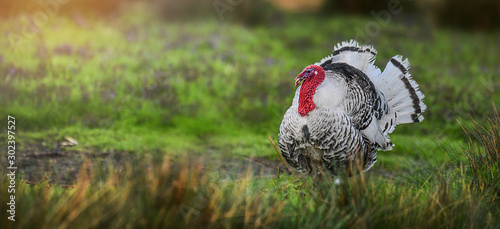 Recess Fitting Bird Beautiful domestic turkey bird with red head in sunny background on fresh green meadow.