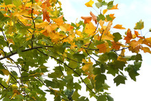 Colorful Maple Leaves On The Trees. Autumn Background.
