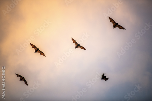 Photo A flock of fruit bats in the sunset sky