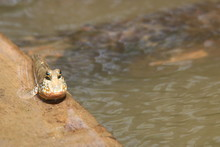 Close Up Mudskipper Fish,Amphi...