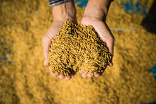 Farmer Hold Paddy In Hands After Harvest.