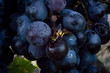 Grape is the fruit of the vine a plant of the Vitaceae family.