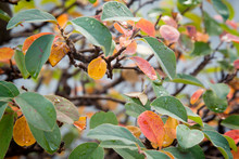 Red, Green And Yellow Leaves O...