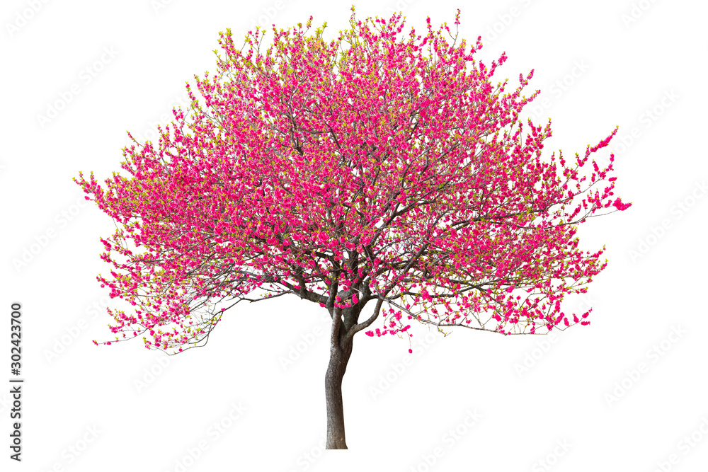 Fototapety, obrazy: Purple cherry tree isolated on white background.