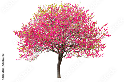 Leinwand Poster Purple cherry tree isolated on white background.
