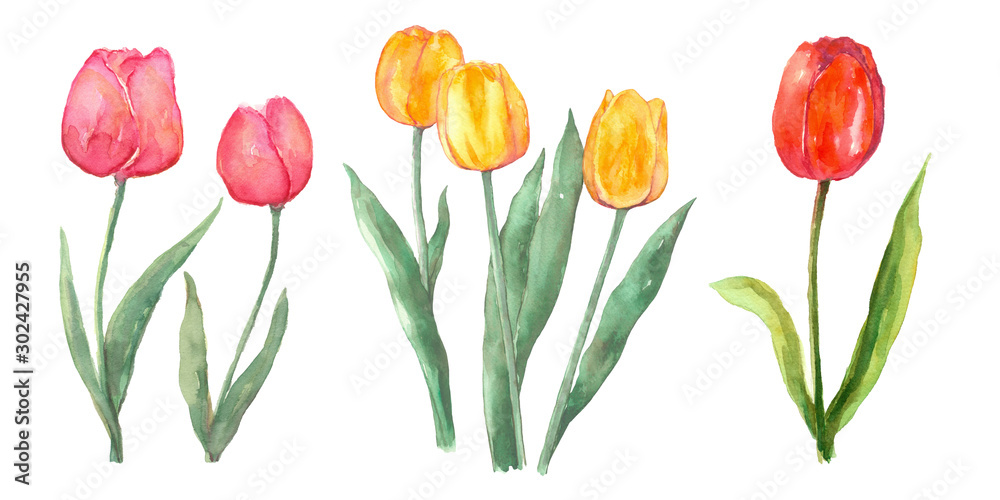 Fototapety, obrazy: Pink red and yellow tulip set watercolor painting flower elements on isolated white background hand painted for card, wall art, clip art or your design