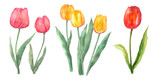Fototapeta Tulips - Pink red and yellow tulip set watercolor painting flower elements on isolated white background hand painted for card, wall art, clip art or your design