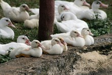 Flock Of White Ducks Lying On ...