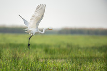Great Egret Flying In The Meadow