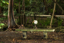 Wild Bird White Heron On A Bench In A City Park Among Torpic Plants. USA. Florida.