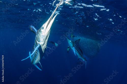 Fotografía  Striped marlin hunting in sardine bait ball in pacific ocean