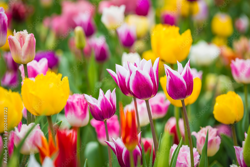 Fototapety, obrazy: Beautiful bright colorful multicolored yellow, white, red, purple, pink blooming tulips on a large flowerbed in the city garden or flower farm field in springtime. Spring easter flower background.