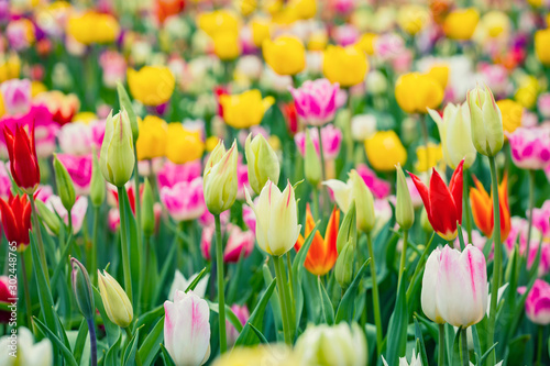 Beautiful bright colorful multicolored yellow, white, red, purple, pink blooming tulips on a large flowerbed in the city garden or flower farm field in springtime. Spring easter flower background.