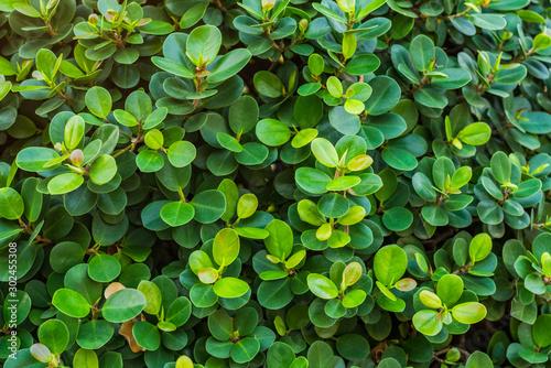 Ficus annulata, Banyan Tree leaf background Wallpaper Mural