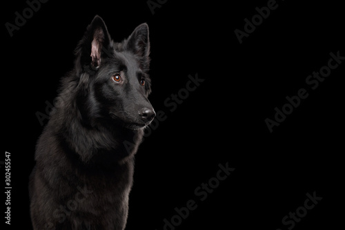 Photo Portrait of Groenendael Belgian Shepherd Dog Curious Stare at side on Isolated B