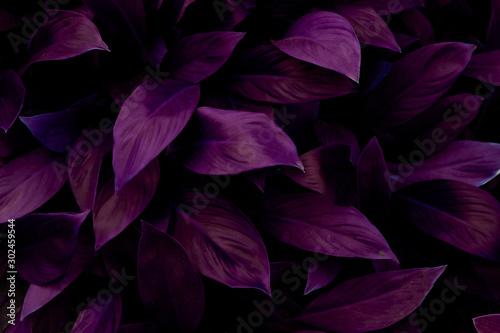 closeup nature view of green leaf in garden, dark tone nature background, tropical leaf #302459544