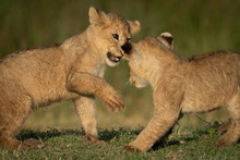 Close-up Of Two Lion Cubs Playing Together
