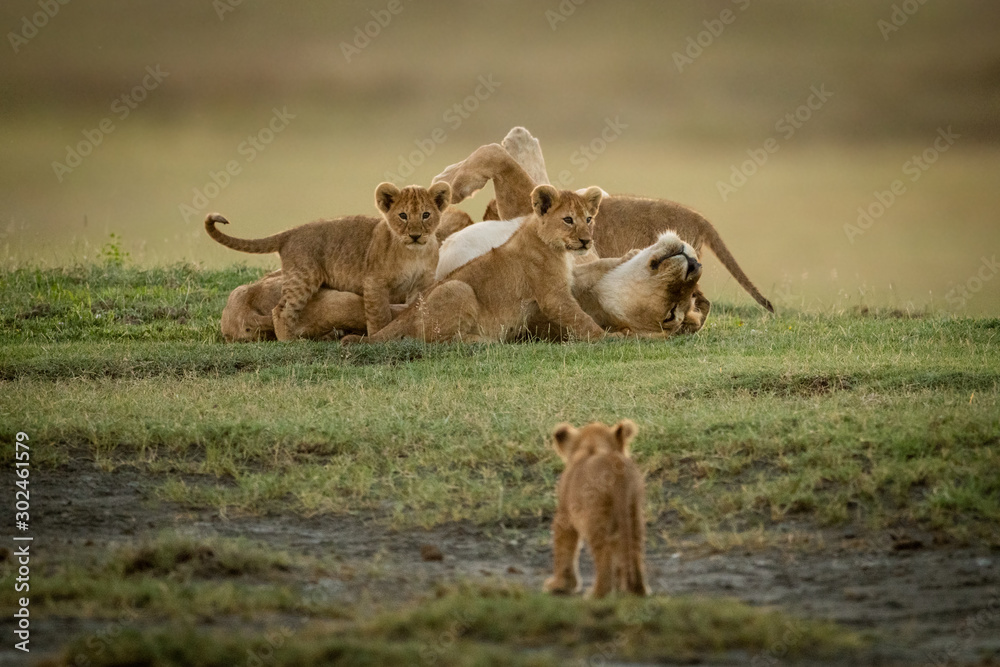 Fototapeta Cub watches lioness lying covered in cubs