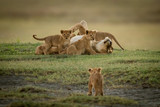 Cub watches lioness lying covered in cubs