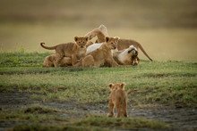 Cub Watches Lioness Lying Cove...