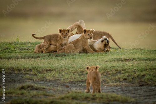 Photo Cub watches lioness lying covered in cubs