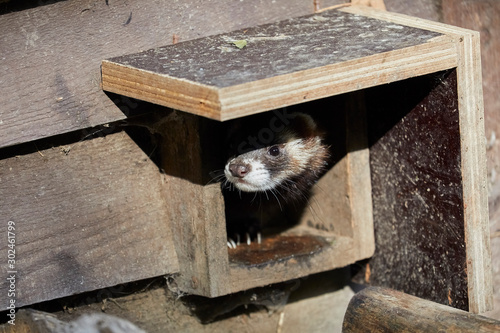 Fotografia, Obraz Cute polecat waiting for the feeding
