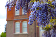 Chinese Wisteria (Wisteria Sinensis) In An English Garden In Spring.