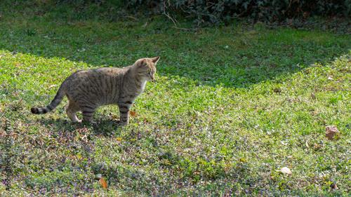 Obraz na plátne A Bengal cat walks on the grass