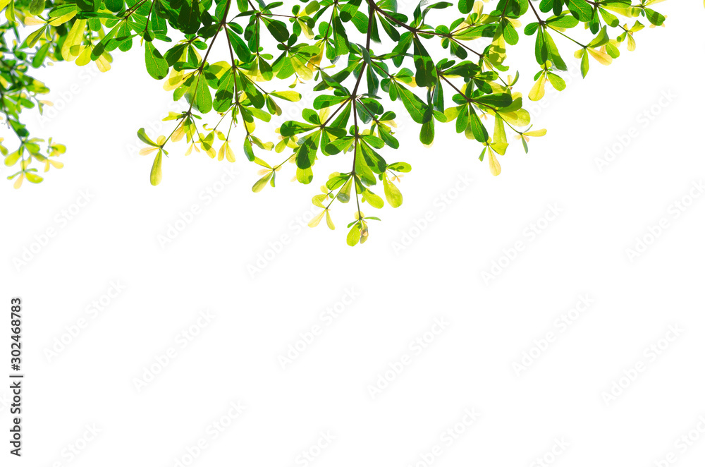 Fototapety, obrazy: green leaves isolated white background with clipping path. nature frame for decoration design.