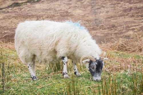 Scottish blackface ram eating grass Wallpaper Mural