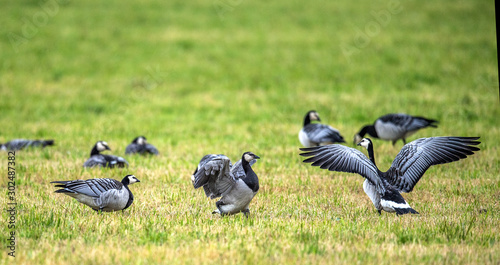 The barnacle goose (Branta leucopsis) . flock of barnacle gooses is sitting on a field. #302487382
