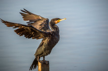 Great Cormorant In Mai Po Nature Reserve, Hong Kong (Formal Name: Phalacrocorax Carbo)