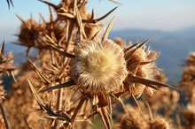 Dry Beige-brown Flower Of Prickly Plant, Branches Prickly, Against Blue Sky And Mountains Background