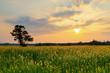 Tree standing on sunhemp (yellow flowers) or Crotalaria juncea farm land field with sunset or sunrise and sun rays