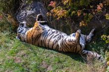 Tiger, Panthera Tigris, Portra...