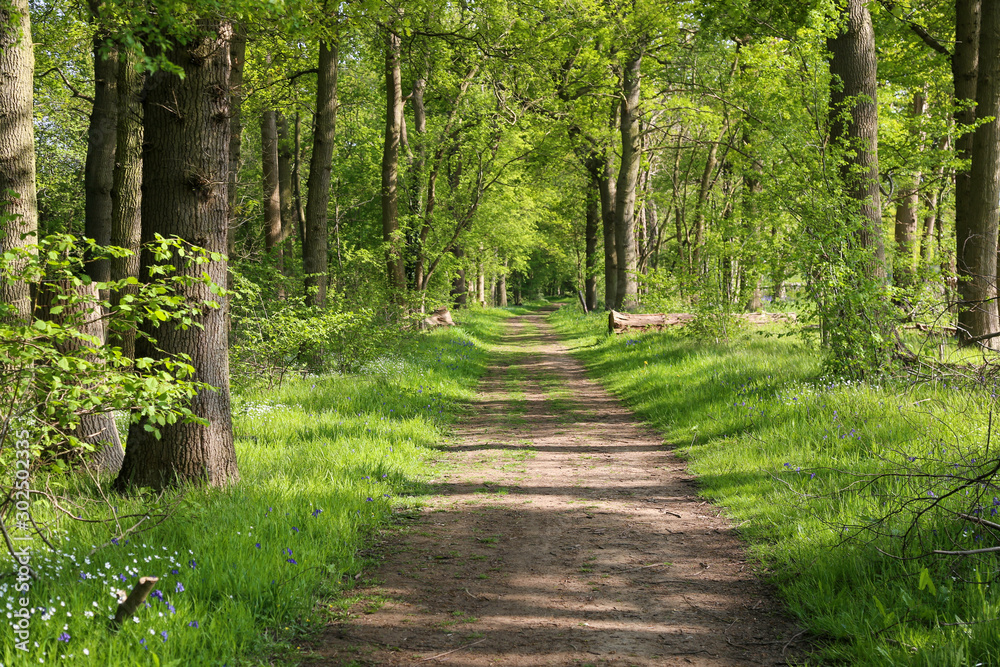 Fototapeta Beautiful path though an ancient woodland or forest outside Guildford, Surrey.  UK