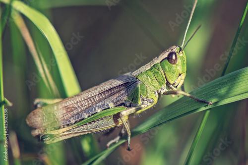 Wallpaper Mural grasshoper
