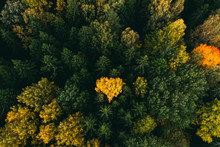 Yellow Tree Heart In Green Pine Forest. Beautiful Autumn Landscape. Aerial View