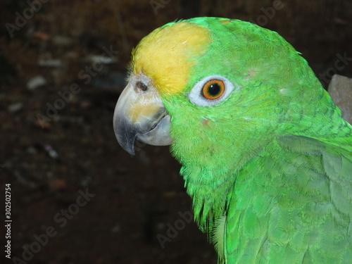 Yellow Crowned Amazon Parrot Closeup