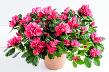 Close Up Of Pink Azalea Or Rhododendron Plant With Flowers In Full Bloom In A Brown Pot Isolated On A White Table, Side View With Space For Text, For Valentine's Day Or Mother's Day