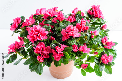Close up of pink azalea or Rhododendron plant with flowers in full bloom in a br Canvas Print
