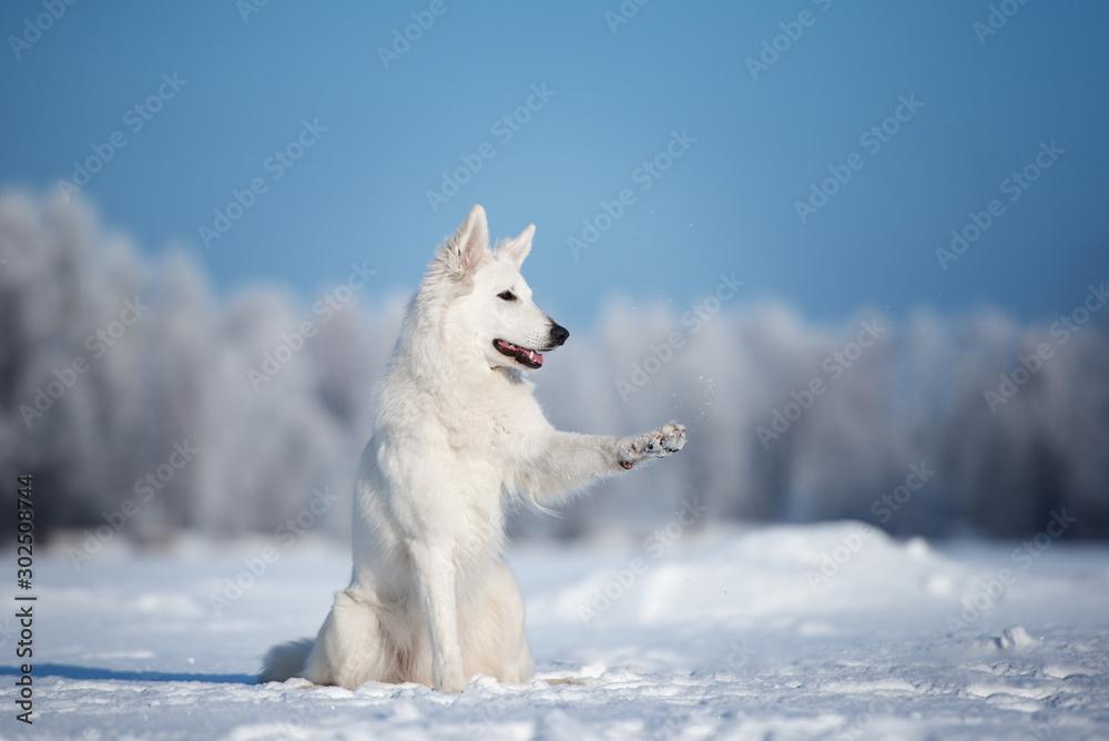 white shepherd dog outdoors in winter